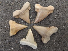 5 Fossil shark teeth - Palaeocarcharodon orientalis - 3.1 to 4.1 cm (5)