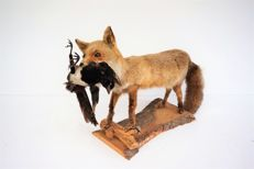 Taxidermy Red Fox - Vulpes vulpes and Magpie - Pica pica  85 x 55 cm