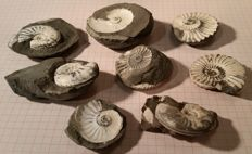 Lot of 8 Ammonite limestone - 3.3 - 4.8 cm - 274.70 g