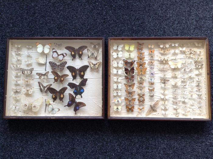 Unique and well-filled private collection of Butterflies and Moths in antique cases - various species - 51 x 42cm  (2)