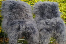 Extra large, grey long-haired Icelandic Sheep Skins - Ovis aries - 120 x 75 cm (2)