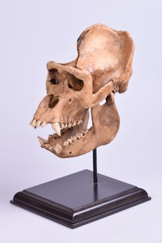 Fine replica Great Ape skull on custom stand - 37 x 25 x 15cm