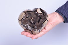 Large Septarian heart 13 x 12 cm - 1.494kg