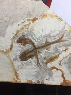Two overlapped  fishes on an intact slab - Lycoptera sp. - 17 x 11 cm