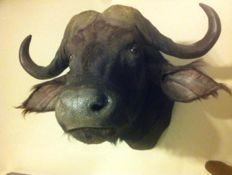 Taxidermy large Cape Buffalo Syncerus caffer - 85 x 100 x 110 cm