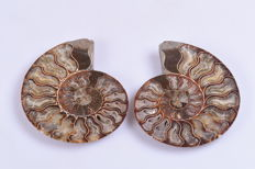Two polished Ammonites - Aioloceras sp. - 11 x 14 cm (2)