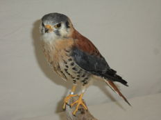 Fine quality taxidermy - freshly mounted American Kestrel - Falco sparverius -