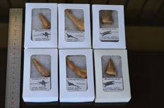 Lot of Spinosaurus- Onchopristis and  Mosasaur teeth in boxes - tooth size 35-62 mm (6)