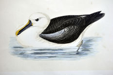 13 ornithologische bladen van A. F. Lydon (1836-1917) -  C.R. Bree 'History of the Birds of Europe not observed....' -  1863