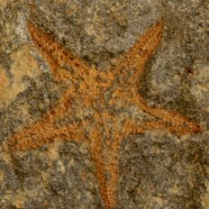 Ordovician brittle star - 100 mm