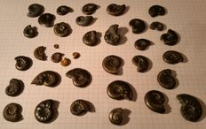 Lot of more than 25 Ammonites with Pyrite - 1.5 - 2.8 cm - 136 g