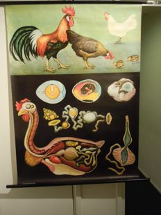 Old zoological school poster Biology Jung Koch Quentell Chicken
