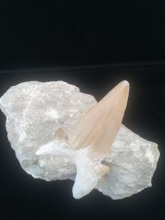 Fossil shark tooth in matrix Otodus obliquus 8.0 cm