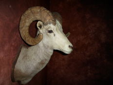 Taxidermy North American Stone Sheep - Ovis dalli stonei - 80 cm