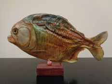 Taxidermy - Red-bellied Piranha - Pygocentrus nattereri - 22 cm