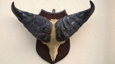 Extra large Cape Buffalo horns with part of skull on shield - Syncerus caffer - 67 x 59 x 22 cm