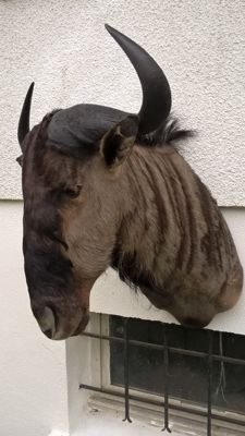 Fine taxidermy - Blue Wildebeest - Connochaetes taurinus - 90 x 65 x 67 cm