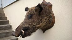 Vintage French Wild Boar head on shield - Sus scrofa - 60 x 56 x 42cm