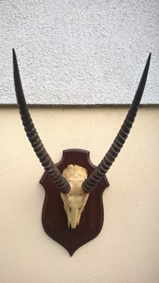 Taxidermy - Extra large Waterbuck trophy on wall-shield - Kobus ellipsiprymnus - 90 x 49 x 53 cm