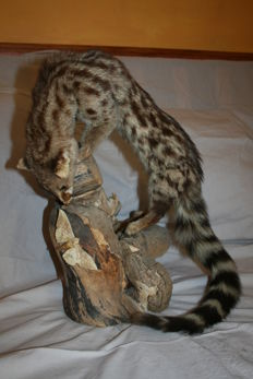 Full mounted Common Genet - Genetta genetta felina - on a nice piece of wood looking at a large moth- 45 x 30 cm