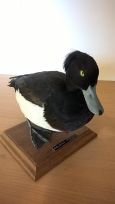 Taxidermy - Tufted Duck - Aythya fuligula - 28 x 18 x 22 cm