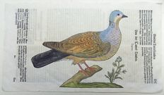 Conrad Gesner (1516-1565) - One leaf with a large woodcut on one leaf (rector and verso) - Ornithology: Turtle Dove. Pigeon - 1669