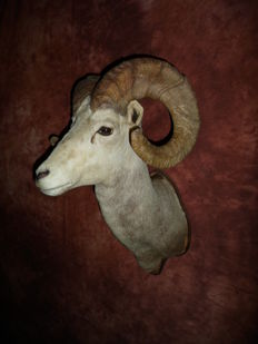 Taxidermy Canadian Dall's sheep Ovis dalli stonei 80 cm high