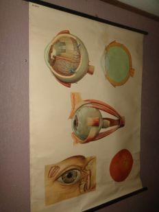 Old anatomical school poster / school map of the eye