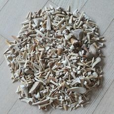 Lot of fossil shark teeth from different species - 0.5 - 4 cm (1000)