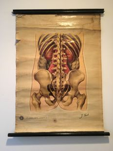 Anatomical scroll poster of Spine and Pelvis by St John's Ambulance, England 1939