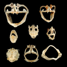 Set of 8 Reef Fish Skulls - 60 to 110 mm (8)