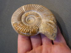 Detailed sandblasted Perisphinctid ammonite - 88 x 75 x 24 mm - 162 g