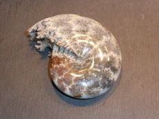 Large polished ammonite - Phylloceras sp. - 112 x 87 x 40 mm 441 g