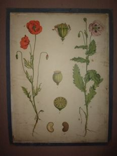 "Old Botanical school poster of the ""Poppy"""