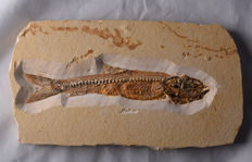 Fossil perfectly preserved bony fish - Dastilbe - schooling fish from the Cretaceous - length: 15.8 cm - plate size: 19.8 x 10.5 cm