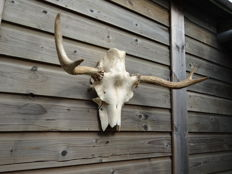 Taxidermy - Eurasian Elk 1st year Antlers on part-skull - Alces alces - 65 x 30 x 40cm