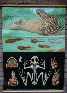 Old school poster, Biology, Jung Koch Quentell: Common frog