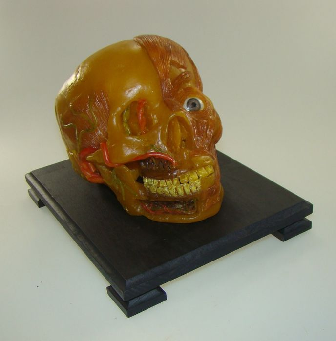 Anatomical wax model of a skull - circa 1880