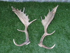 Taixdermy - large, matching pair of Fallow Deer antlers - Dama dama - 55 x 25 x 20cm  (2)