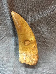 Tooth of Carcharodontosaurus - 6,5 cm
