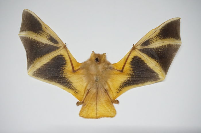 Taxidermy - Painted Bat with wings open - Kerivoula picta - 21 x 15 cm