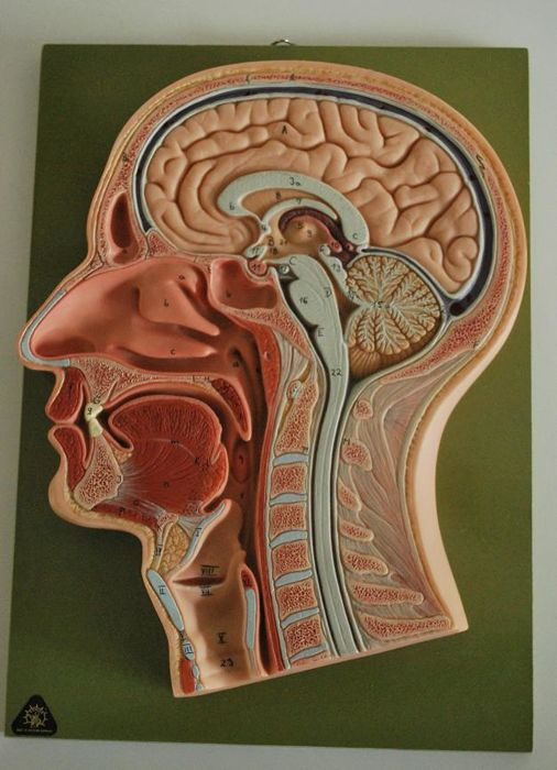 Somso anatomical model of head cross section