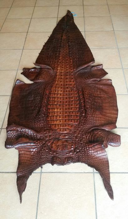 Taxidermy - Huge Nile Crocodile skin - Crocodylus niloticus - 242cm - CITES Import Ref. No. 17/PTLX008781