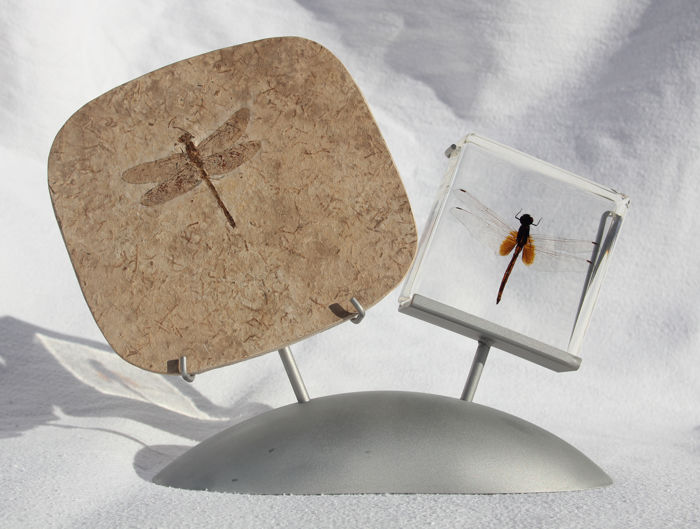 How time flies - 24,5 x 18 x 7 cm - impressive dragonfly - fossil and modern relative - on stainless steel