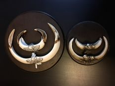 Taxidermy - Wild Boar Tusk trophies on wood shields, with white metal fittings - Sus scrofa - 20cm and 13.5cm  (2)