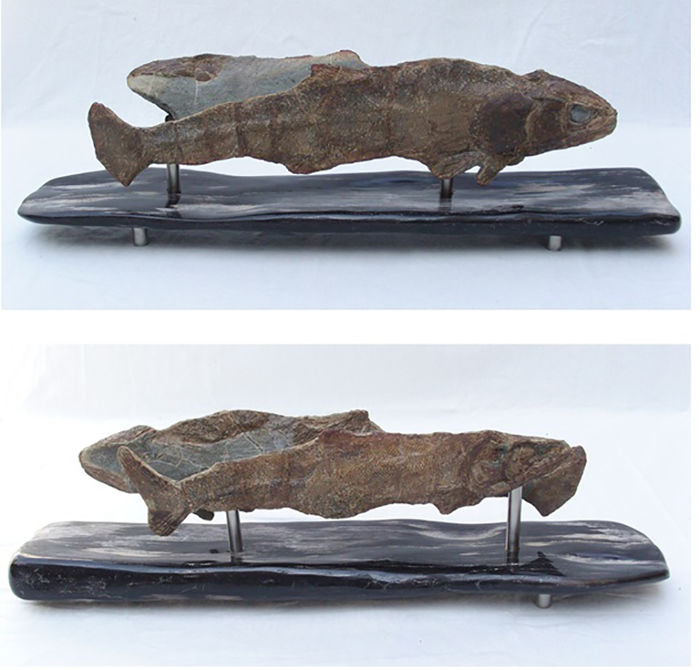 "Twins - original two in one - ""Rhacolepis""  for ever together - decorative on flat wood - 49 x 10,5 x 15 cm"