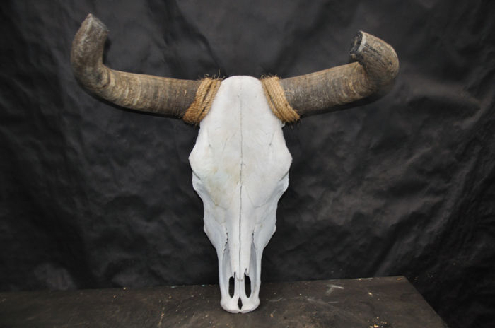 Extra large Mexican Steer skull - Bos taurus - 62 x 52cm