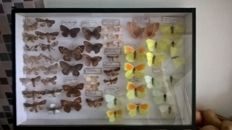 Interesting and varied Butterfly Display - 39 x 26 cm