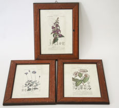 Three botanical etchings by Pierre Jean Francis Turpin 19th century - wooden frames from the first half of the 20th century