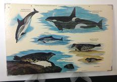 School poster dolphins, seals and killer whale.